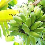 The Banana Plant in Vietnam