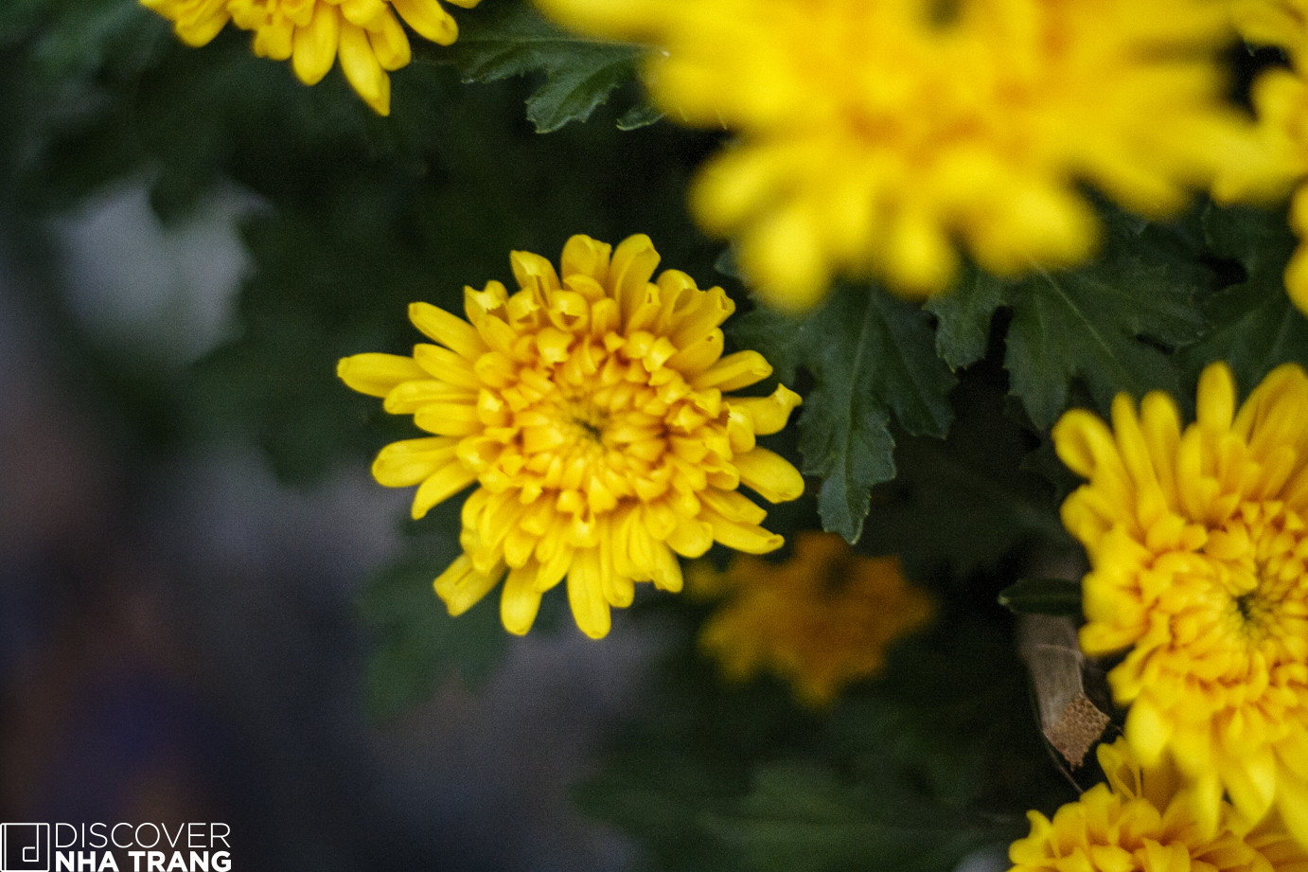 tet-flowers-golden-daisy-blossom